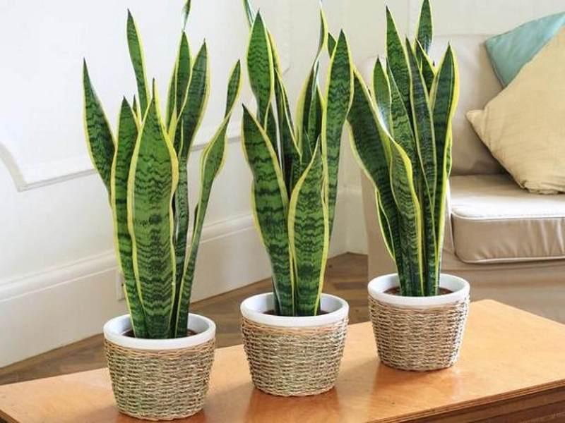 Мікроклімат і хороша аура: 10 кращих рослин для кожної кімнати