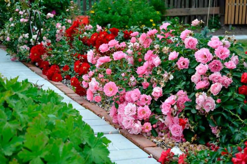 Чим варто підгодувати садові троянди восени