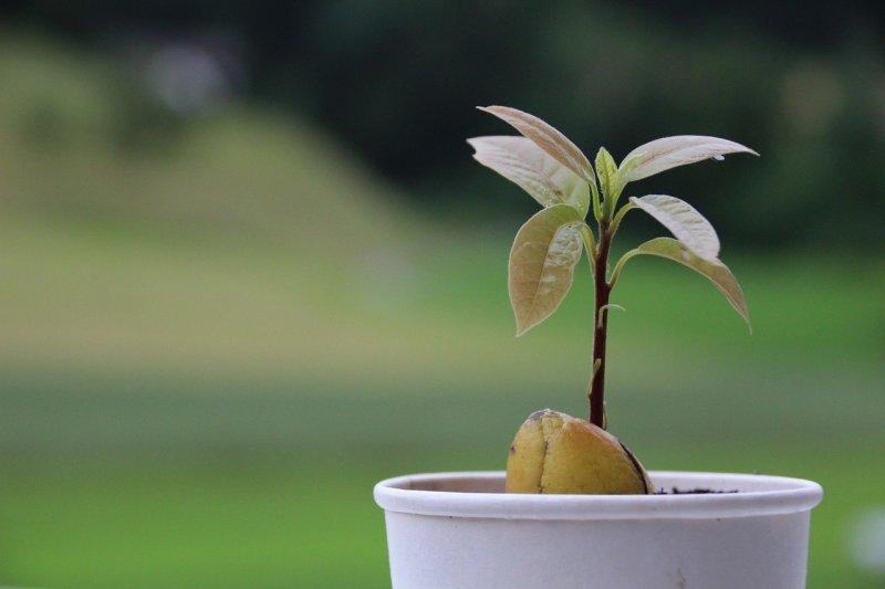Як виростити авокадо з кісточки в домашніх умовах: 3 перевірених способи і поради по догляду