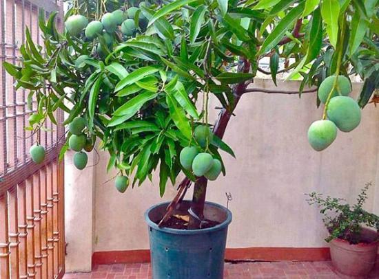 Як виростити манго з кісточки в домашніх умовах: 3 простих способи і поради по догляду
