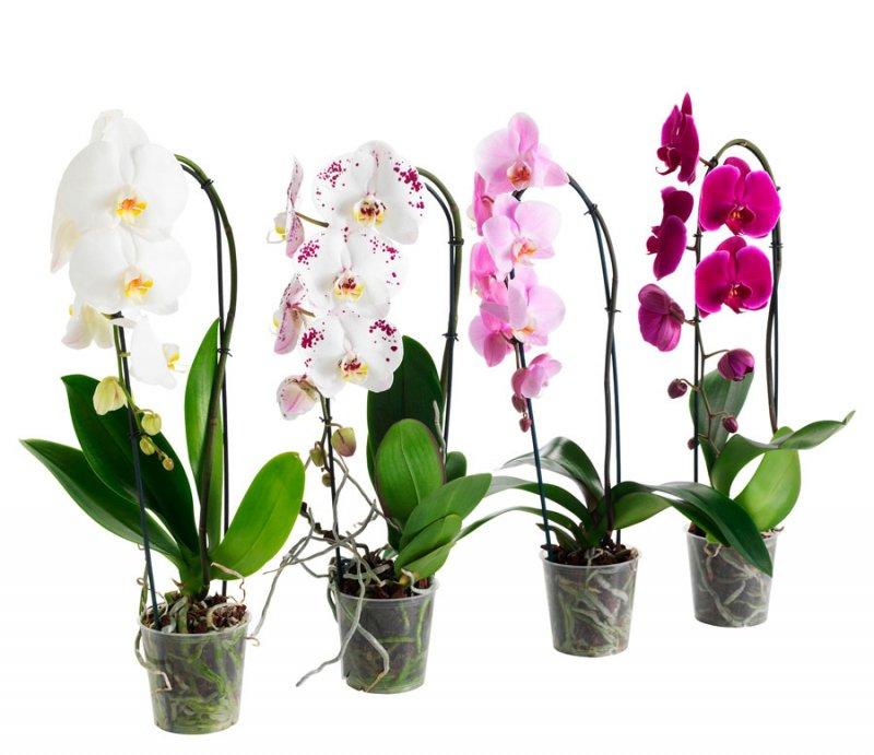 Фаленопсис. Як доглядати за орхідеєю?
