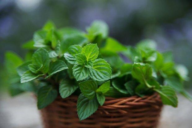 Трави для кишечника: 13 найкорисніших рослин від здуття, болю і проблем з травленням