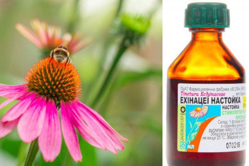 Користь і шкода ехінацеї для організму: 5 властивостей, про які потрібно знати