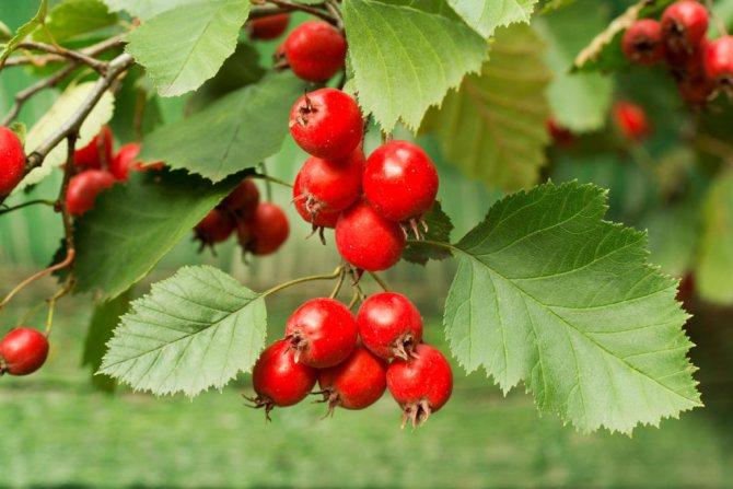 Лекарственные растения: полезные свойства листьев и цветков боярышника
